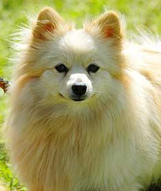 pom, pomerian dog