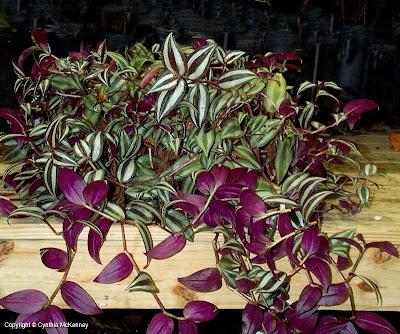 Captive creativity oh i have a wandering jew plant that - Purple wandering jew plant ...
