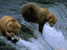 un oso puede vivir de 20 a 25 años el cual es su ciclo de vida