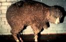 Mouton Malade à Cause des Hommes