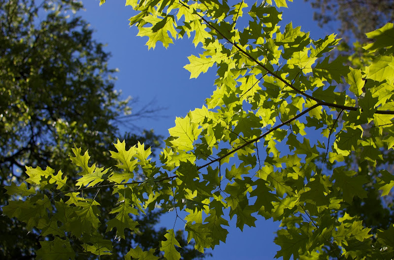 Spring oak leaves and blue sky