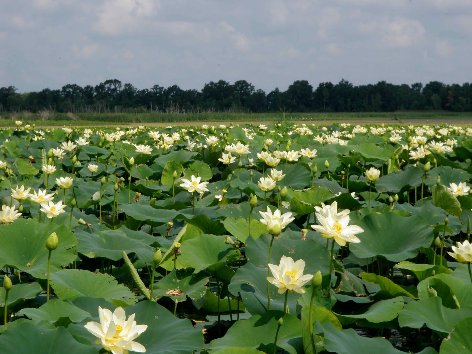 Sue ives mandalay national wildlife refuge smell of lotus blossoms theyre big blooms 6 across each with lots of acorn sized edible seeds imagine a sunflower with really really big seeds izmirmasajfo