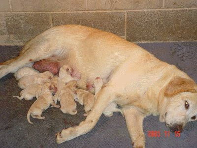 AKC Yellow Labs for Sale Classified Ad - Pittsburgh Dogs and Puppies For