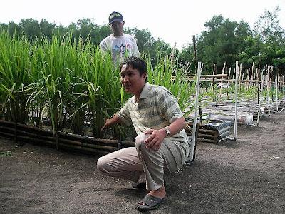 tanaman dapat tumbuh normal di lahan pasir dengan pupuk nasa