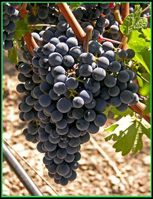 Виноградное масло своими руками