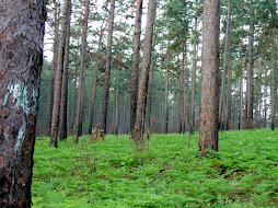 east texas pines - I grew up here.