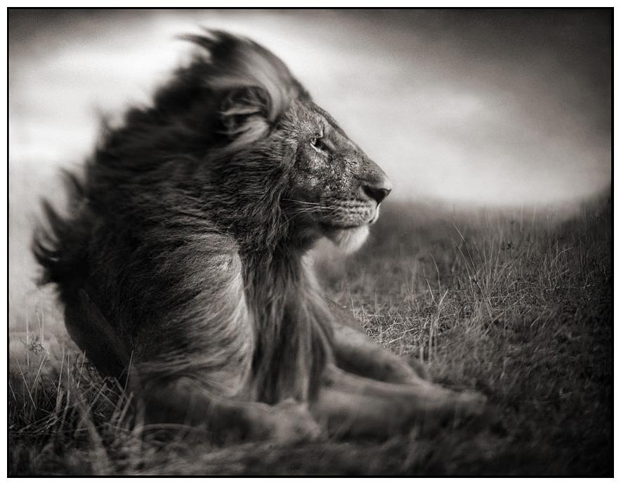Lion sitting profile - photo#20