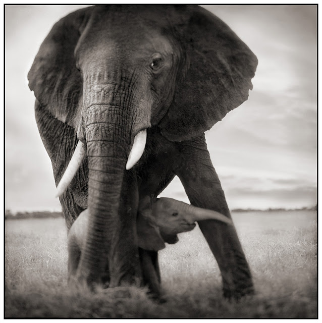 Africas Wild Animals Black White Photography