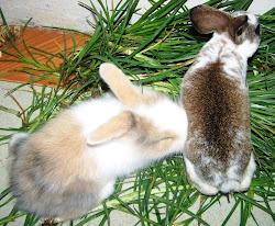 Anakan Kelinci Produksi Peternakan King's Rabbit-Makassar