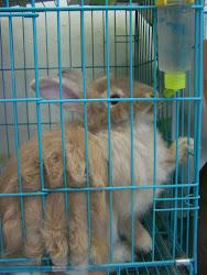 Koleksi Indukan Anggora Peternakan Kelinci King's Rabbit-Makassar