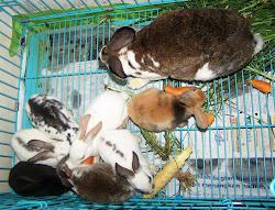 Anakan Rex Peternakan Kelinci King's Rabbit-Makassar
