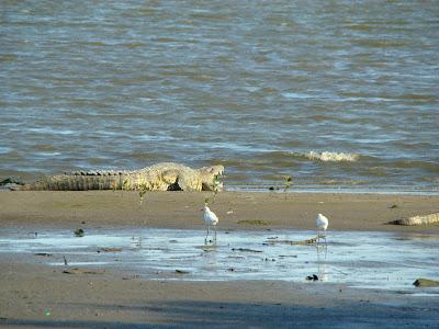cocodrilos en tamaulipas