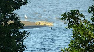 cocodrilos en Tampico