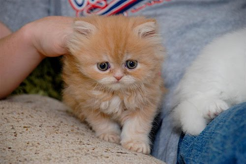 orange kittens for adoption gallery