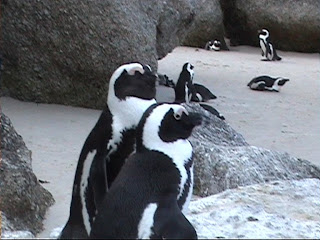 African Penguins dance, Boulders Beach, South Africa