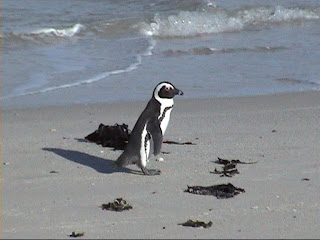 African Penguin, Boulders Beach, South Africa