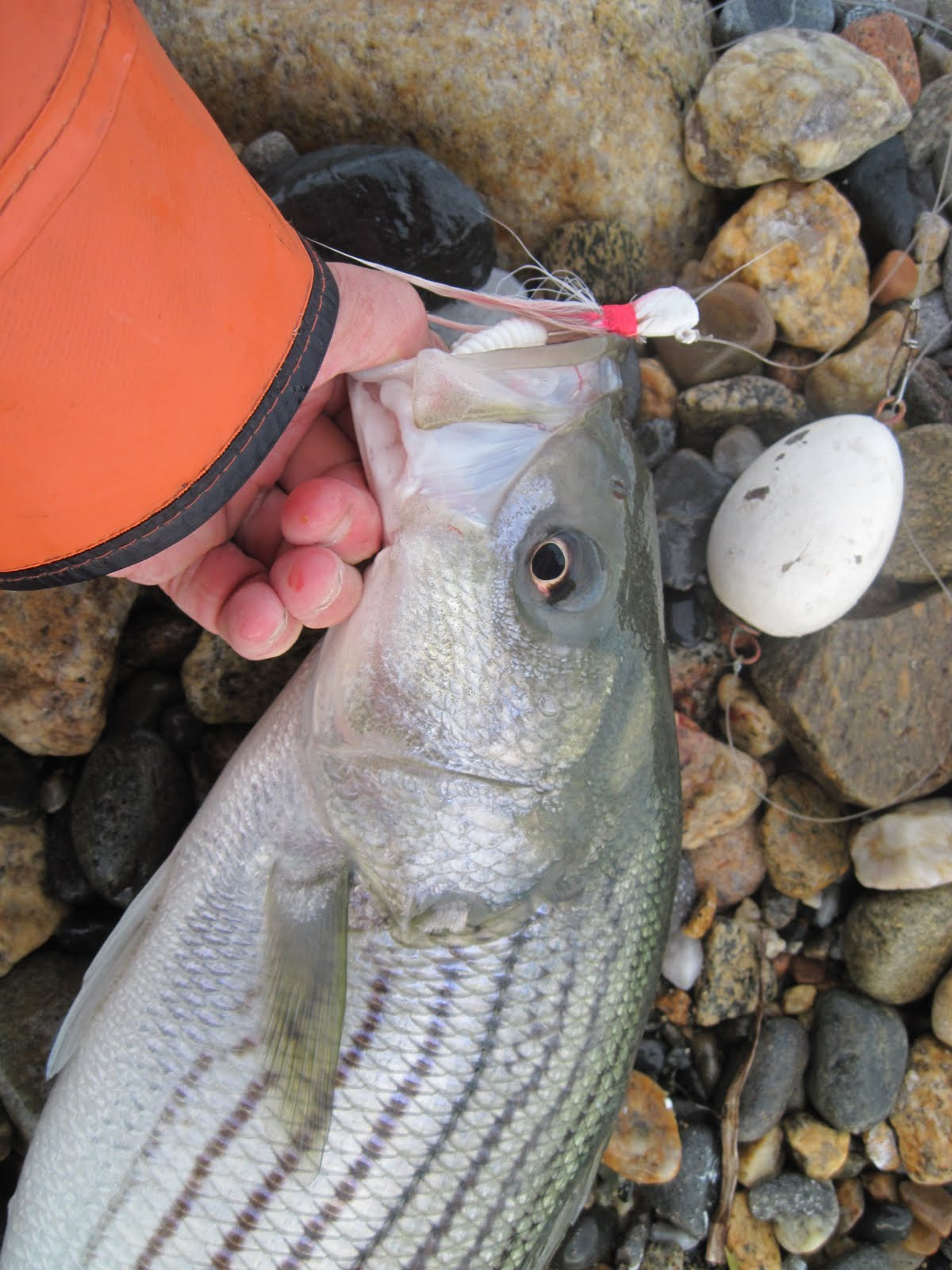 Rhode island striped bass float n jig scoring in white water it also works along shallow beaches nvjuhfo Image collections