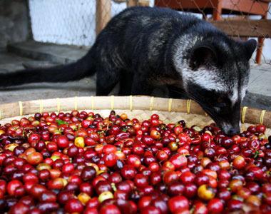 weasel coffee, kopi luwak,Cà Phê Chồn