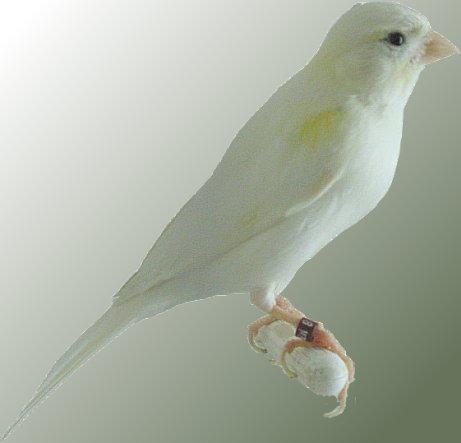 Ada burung yang bagus berkicau adalah burung kenari jal