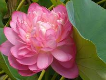 lotus dreaming