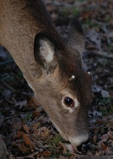 black singles in whitetail Rumor: photographs show a black white-tailed deer fawn contact us nor, for that matter, does anyone know if a single gene is responsible.