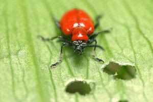Spinosad: a New Option for Control of Lily Leaf Beetles