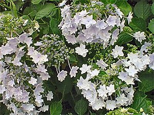 Shrubs for Late-Summer Bloom