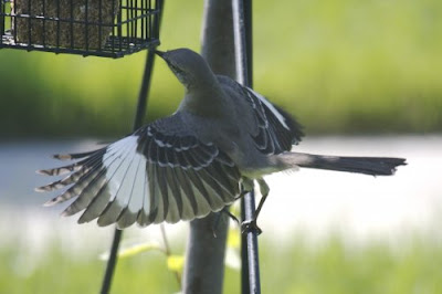 Suet is for the Birds