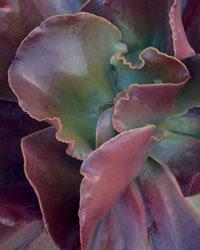 Kalanchoe thrysifolia 'Copper Haze'