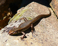 Skink on rocks at Hartz Peak - 24 Nov 2007