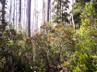 Waratah in the forest along the White Timber Trail, Wellington Range, Tasmania