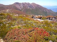 Richea scoparia, with Florentine Peak behind, 9 Dec 2006 - 283KB