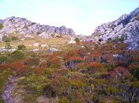 Scoparia on the Mt Roland plateau, 26th Dec 2006
