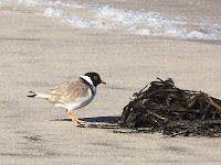 Hooded Plover, Thinornis rubricollis, South Cape Bay - 15th August 2008