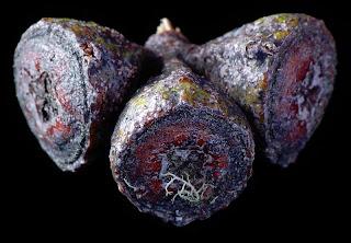Capsules of Eucalyptus coccifera