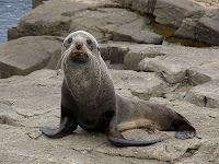 ?Fur Seal, Standup Point, Tasman Peninsula - 25th October 2008