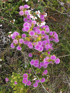 Melaleuca squamea, Swamp Honeymyrtle, Mt Brown Track - 25th October 2008