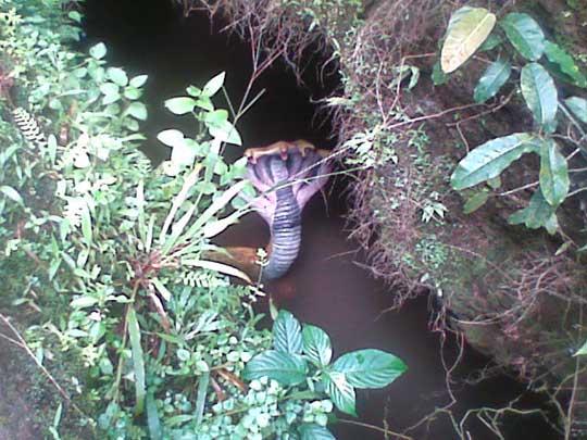 http://1.bp.blogspot.com/_gqcRZCkzGyU/TMHcCg5vINI/AAAAAAAAFKk/V_9B6fLVAXU/s1600/five-head-cobra-5.jpg