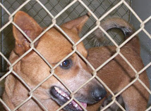 Missy ~ Female Cattledog Mix ~ Euthanized 6-18-10