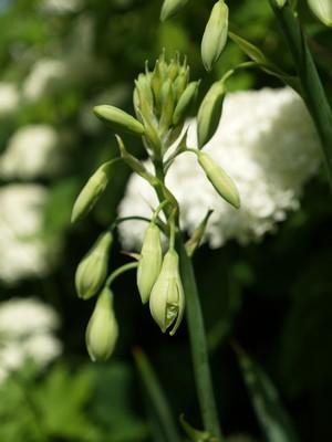 Galtonia viridiflora - sommerhyasinth