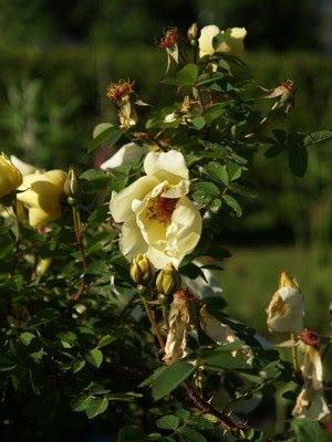 Rosa &#39;Acha&#39;