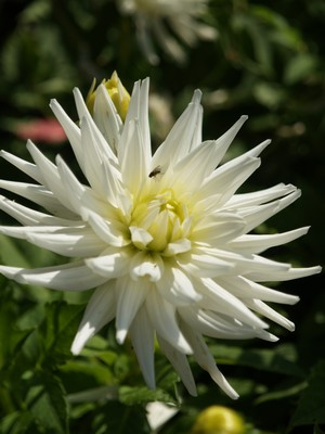 Dahlia &#39;My love&#39;