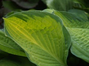 Hosta &#39;Gold Standard&#39; - bladlilje