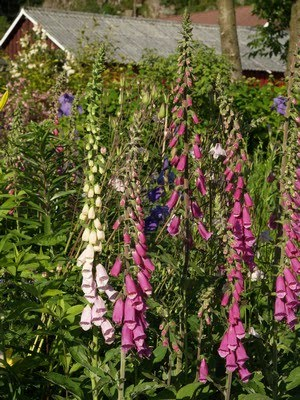 Digitalis purpurea - revebjelle