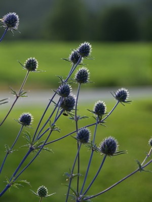 Eryngium - stikle