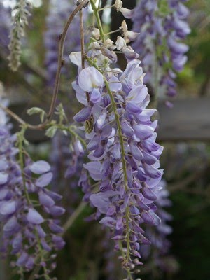 Wisteria sinensis - blregn