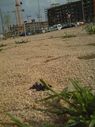 Excrementos de conejo en el nuevo barrio de Valdespartera (Zaragoza)