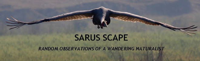 SARUS SCAPE