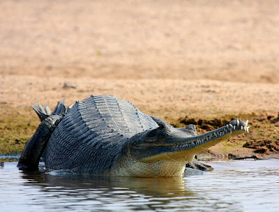 SARUS SCAPE: Chambal diary: 1. The Gharial
