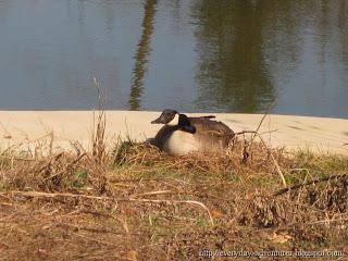 Nesting Goose